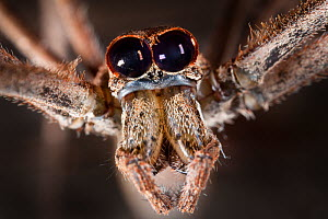Close up of head of Ogre faced / Net-casting spider {Deinopis sp} showing the huge pair of eyes that enable it to hunt at night. Masoala Peninsula National Park, north east Madagascar. - Alex Hyde