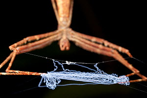 Ogre faced / Net-casting spider {Deinopis sp} at night with web held between legs ready to stretch over invertebrate prey. Lowland rainforest, Masoala Peninsula National Park, north east Madagascar. - Alex Hyde