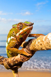 Panther Chameleon {Furcifer pardalis} climbing along branch on beach, Masoala Peninsula National Park, north east Madagascar. - Alex Hyde