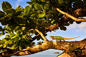 Panther Chameleon {Furcifer pardalis} walking along branch on coast, Masoala Peninsula National Park, north east Madagascar. - Alex Hyde