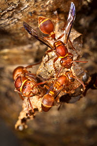 Paper wasps {Polistes sp} on suspended nest. Maroantsetra, North east Madagascar.  -  Alex Hyde