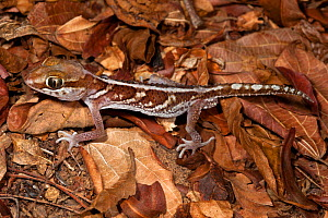 Big eyed / headed gecko {Paroedura pictus} on forest floor. Dry deciduous forest, Kirindy Forest, Western Madagascar. October - Alex Hyde