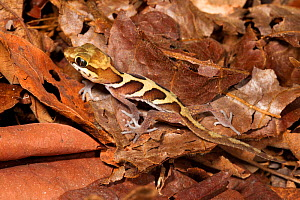 Big eyed / headed gecko {Paroedura pictus} on forest floor. Dry deciduous forest, Kirindy Forest, Western Madagascar. October 2009. - Alex Hyde