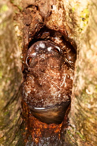 Rot-hole tree frog {Platypelis grandis} in pool in tree hole with eggs. Andasibe-Mantadia National Park, Eastern Madagascar. - Alex Hyde