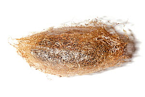 Silk moth (Saturniidae) cocoon, used in textile production, photographed on a white background. Maroantsetra, Northeast Madagascar.  -  Alex Hyde