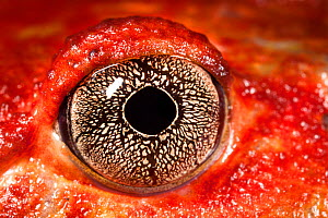 Close up of eye of Tomato frog {Dyscophus antongili} Maroantsetra, Northeast Madagascar  -  Alex Hyde