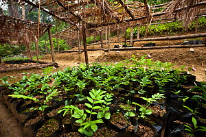 Tree nursery of endemic species, part of a forest restoration and carbon sequestration scheme that provides a sustainable livelihood for the local population. Tropical rainforest, Mitsinjo reserve, An...  -  Alex Hyde