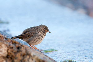 Rock Pipit (Anthus petrosus) juvenile at edge of water, Oban, Argyll, Scotland, UK. June  -  Andrew Walmsley