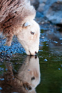 Herdwick Sheep (Ovis aries) head portrait drinking, with reflections, Lake District NP, Cumbria, England, UK. June  -  Andrew Walmsley