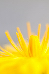 Dandelion (Taraxacum officinale) detail of petals, Lake District NP, Cumbria, England, UK. June  -  Andrew Walmsley