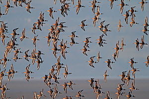 Black-tailed Godwits (Limosa limosa) and Knots (Calidris canutus) in flight in early morning light, Dee Estuary, Merseyside, England, UK, February  -  Alan Williams