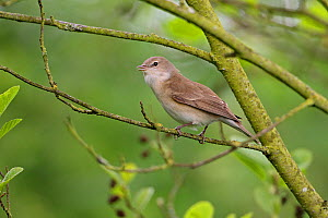Garden Warbler (Sylvia borin) singing in woodland, Cheshire, England, UK, May  -  Alan Williams