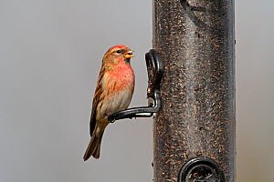 Lesser Redpoll (Carduelis flammea cabaret) male feeding on Niger seed in garden, winter, Cheshire, England, UK, March  -  Alan Williams