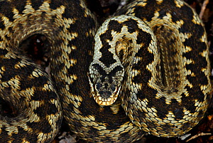 Adder (Vipera berus) portrait coiled up, Powerstock Common nature reserve, Dorset, England, UK June - Colin Varndell