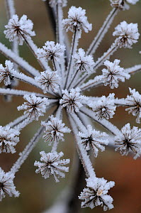 Frost crystals on Cow parsley (Anthriscus sylvestris) seeds. Dorset, UK. January - Colin Varndell