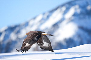 Golden eagle (Aquila chrysaetos) in flight over snow, Alps, Austria, controlled conditions - Dietmar Nill