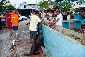 Galapagos sea lions (Zalophus californianus wollebacki) and Pelicans (Pelecanus occidentalis) lining up at fish market on island of Santa Cruz, Galapagos, Ecuador.  -  David Fleetham