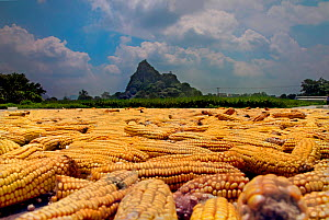 Corn / maize cobs drying in midday sun in front of village of Yiling, Nanning, Guangxi, China.  -  David Fleetham