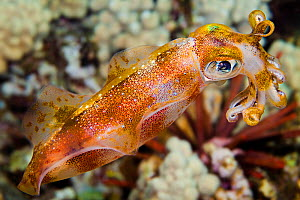 Male Big fin reef / Oval squid (Sepioteuthis lessoniana), which can reach 14 inches in length. Hawaii.  -  David Fleetham