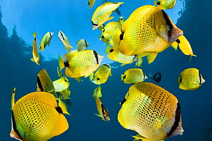 Schooling Lemon butterflyfish (Chaetodon miliaris) near to surface. Maui, Hawaii. - David Fleetham