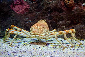 Japanese spider crab (Macrocheira kaempferi) the largest arthropod in the world in terms of leg span, reaching over 12 feet and weighing up to 41 pounds, Japan.  -  David Fleetham