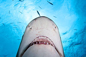 Lemon shark (Negaprion brevirostris) viewed from below. West End, Grand Bahamas, Caribbean. - David Fleetham