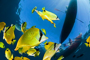 Schooling Lemon / Milletseed butterflyfish (Chaetodon miliaris) below kayakers off Maui, Hawaii. - David Fleetham