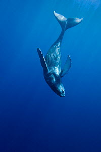 Curious Humpback whale calf (Megaptera novaeangliae) during moment away from its mother, Hawaii. - David Fleetham