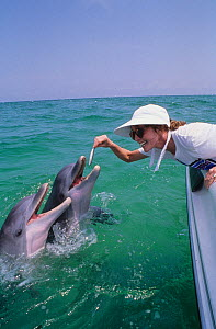 Woman feeding fish to wild Bottlenosed dolphin (Tursiops truncatus) from boat, Gulf of Mexico, Atlantic. Model released - Doc White