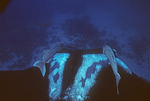 Manta ray (Manta hamiltoni) accompanied by two symbiotic Remora, Eastern Pacific - Doc White