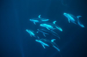Pod of Pacific white-sided dolphin (Lagenorhynchus obliquidens) Eastern pacific  -  Doc White