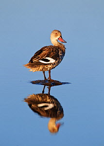 Cape Teal [Anas capensis] standing on stone in water, reflection, Etosha National Park, Namibia, August  -  Tony Heald