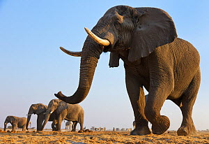 African elephant (Loxodonta africana) herd walking to waterhole, Etosha National Park, Namibia, August  -  Tony Heald