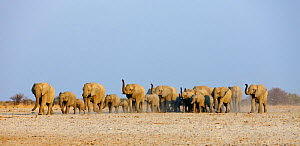 African elephant [Loxodonta africana] female herd approaching waterhole with trunks raised to smell danger, Etosha National Park, Namibia, August - Tony Heald