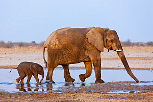 RF- African elephant (Loxodonta africana) mother and baby walking through water, Etosha National Park, Namibia, August. Endangered species. (This image may be licensed either as rights managed or roya... - Tony Heald