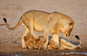 African lion [Panthera leo] juvenile males playing, Etosha National Park, Namibia, August - Sharon Heald