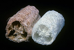 Close-up of the cellulose fibers of a natural, left, and a washed, right, Sponge gourd / Luffa sponge (Luffa cylindrica) - Visuals Unlimited