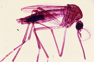 Male Yellow fever and Dengue Mosquito (Aedes aegypti). LM X5. - Visuals Unlimited