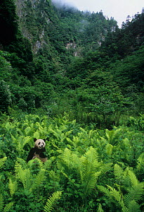 Giant panda (Ailuropoda melanoleuca), an endangered and protected species, sitting among vegetation in the Wolong Nature Reserve, Sichuan, China. - Visuals Unlimited