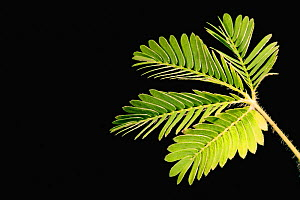 Sensitive plant (Mimosa pudica) leaves opened. (sequence 1/2) - Visuals Unlimited