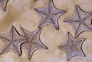 Fossil Seastars (Crateraster mccarteri), 85 m.y.a., Texas, USA. - Visuals Unlimited