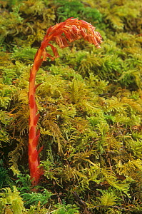 Pinesap / False beechdrops (Monotropa hypopitys) saprotrophic plants, North America.  -  Visuals Unlimited