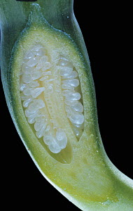 Longitudinal-section through a Daffodil ovary showing ovules (Narcissus sp) - Visuals Unlimited