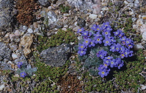 Alpine Forget-Me-Not flowers (Eritrichum nanum) on the alpine tundra in the Rocky Mountains, Colorado, USA.  -  Visuals Unlimited
