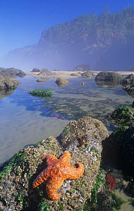 Ochre seastar (Pisaster ochraceus) and various invertebrates on intertidal rocks with Barnacles and Sea Anemones, Pacific Coast of North America. - Visuals Unlimited
