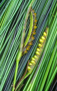 Surf grass (Phyllospadix scouleri) with seeds, Pacific Coast of North America. - Visuals Unlimited