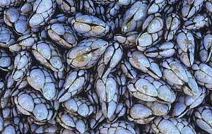Goose barnacles (Pollicipes polymerus) on an intertidal rock, Pacific Coast of North America. - Visuals Unlimited