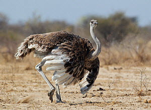 Ostrich [Struthio camelus] courtship display by female, Etosha National Park, Namibia, August  -  Tony Heald