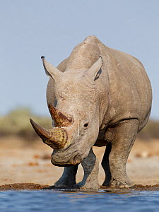 White rhinoceros [Ceratotherium simum] at water, Etosha National Park, Namibia, August  -  Tony Heald