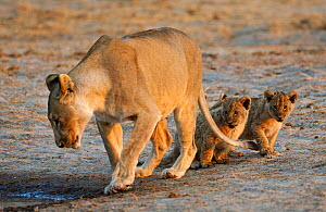 African lion [Panthera leo] mother leading two very young cubs to water, Etosha National Park, Namibia, August - Sharon Heald